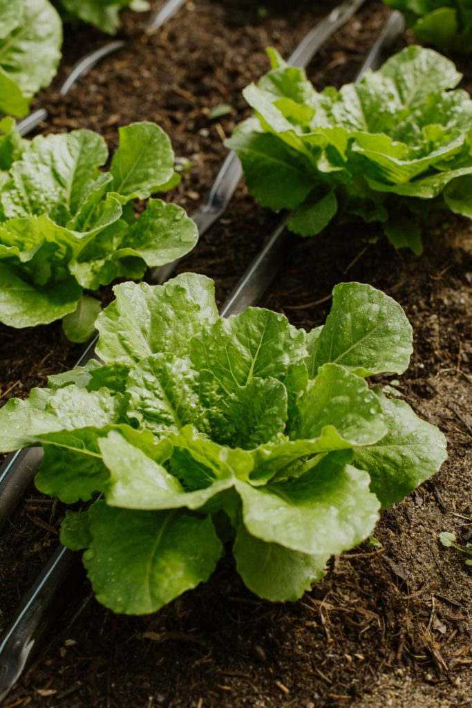 Lettuces planted on the soil